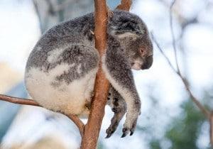 hate koala bears